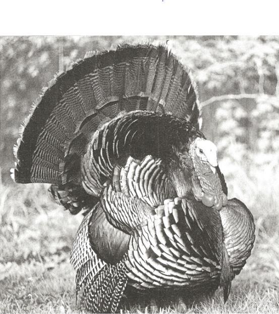 TurkeyCapture